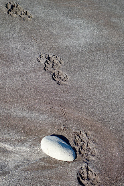 Wolf tracks along the beach